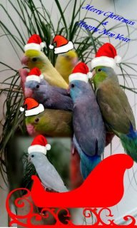 """Babies Parrotlets . \""""A Christmas Gift\"""" - Please Contact"""