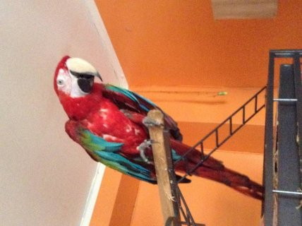 Scarlet Green Wing Macaw - Please Contact