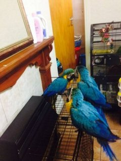 3 baby blue and gold macaws for Xmas Ready NOW