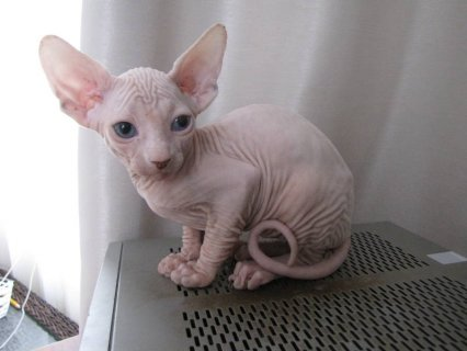 صور Canadian Sphinx Kittens - Please Contact 2