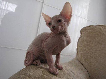 صور $Canadian Sphinx Kittens - Please Contact 3