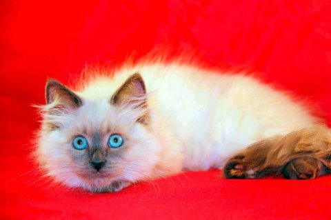 SIBERIAN KITTENS-Color point- all kittens have blue eyes! - Plea