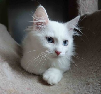 Siberian kittens-White color w/blue, green,amber eyes!!! - Pleas