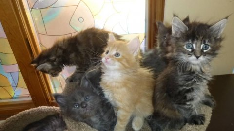 CFA registered holiday maine coon kittens