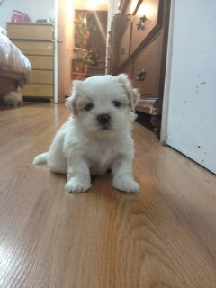صور PUPPY FOR SALE (SHIH-TZU) 1