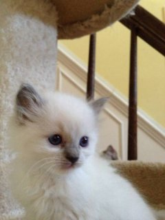 Tica ragdoll for sale - price reduced