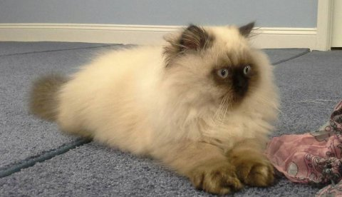 Gorgeous Ragdoll kittens for sale from TICA and CFA recognized h