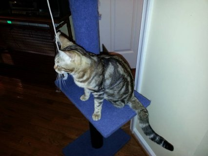 Bengal Female Cat Registered