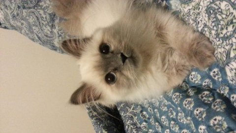month old beautiful blue point himalayan kitten