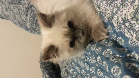 صور month old beautiful blue point himalayan kitten  2