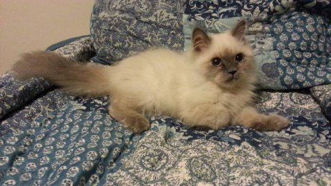 صور $month old beautiful blue point himalayan kitten  3