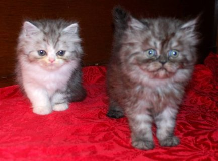 CFA Shade Silver & Black Smoke Persian Kittens, White Himalayan