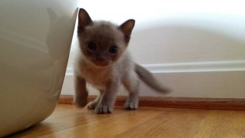 Burmese kittens Ready Now Check Out
