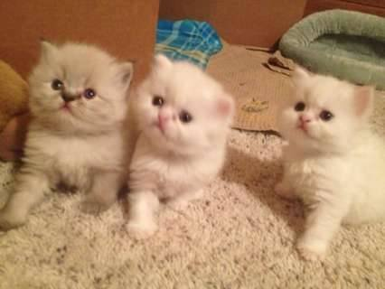 Sweet looking Persian kitten for loving and caring home