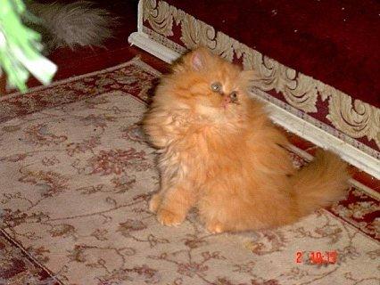 Persian-Himalayan kitten CFA Reg.w2