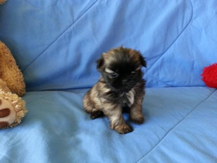 CKC Shih-TZU Puppy 8 weeks old