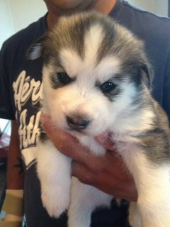 1 FEMALE LEFT!!! SIBERIAN HUSKY PUPPY!!