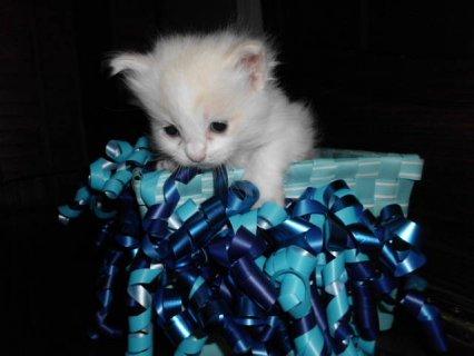 Purebred Ragdoll Kittens- Pinkerton Ragdolls