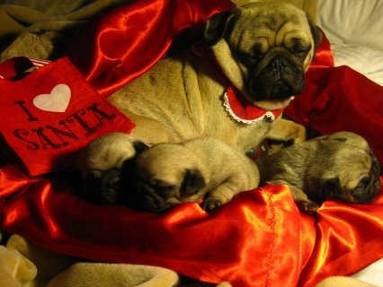 صور Gorgeous Fawn AKC Pedigree Christmas Pug Puppies 2