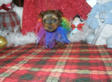 gold sable male yorkie akc and apri
