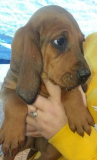 Coonhound puppies Ready