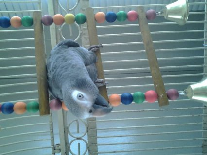 2 year old African Grey Parrot with nice cage