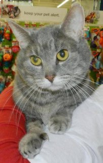 صور Domestic Short Hair - Gray - Diamond - Small2 1