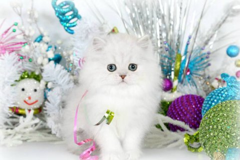 Teacup Persian Kttens for Sale0