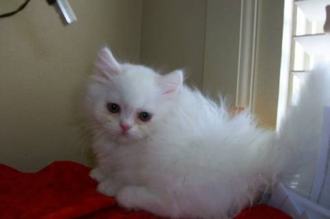 BEAUTIFUL PERSIANS KITTENS, 10 WEEKS OLD.READY FOR CHRISTMAS2