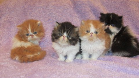 BEAUTIFUL PERSIANS KITTENS, 10 WEEKS OLD.READY FOR CHRISTMAS783