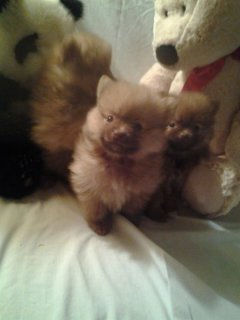 CKC Tiny Pomeranians  For XMas