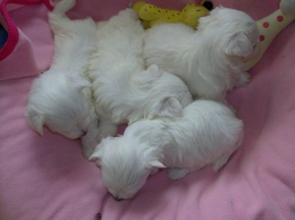 XMAS MALTESE PUPPIES REGISTERED