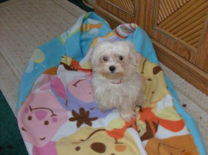 MALTESE PUPPY-TINY TOY REGISTERED PURE BRED
