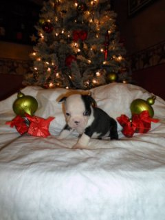 XMas Adorable Boston Terrier Puppies