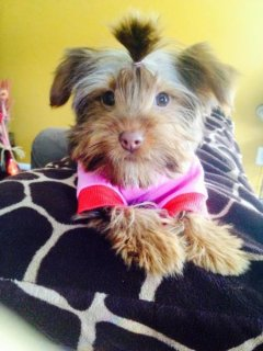 Cute Rare Chocolate Yorkie Female For XMas