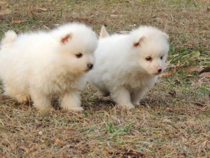 Miniature American Eskimo Puppies - Please Contact