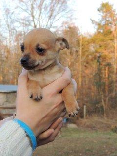 X Mas Chihuahua Male Puppy