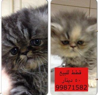 قطط للبيع 50 دينار