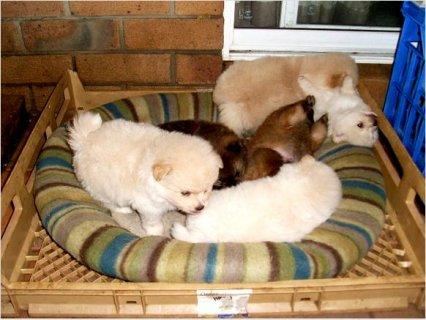 2Two Tiny Micro Pomeranian Puppies Available