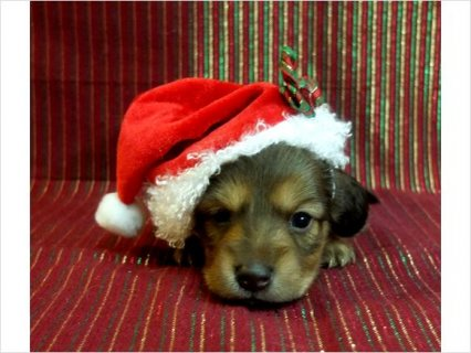 صور Akc MINI DACHSHUND REDS AND CHOCOLATE SILVER DAPPLE PUPPIES  1
