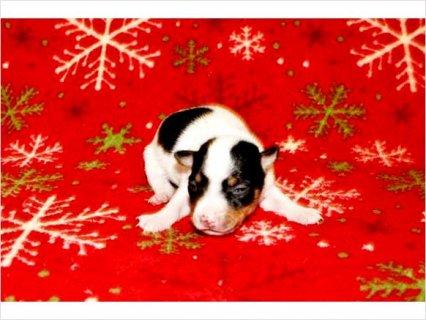 Aca Toy Fox Terrier Puppy