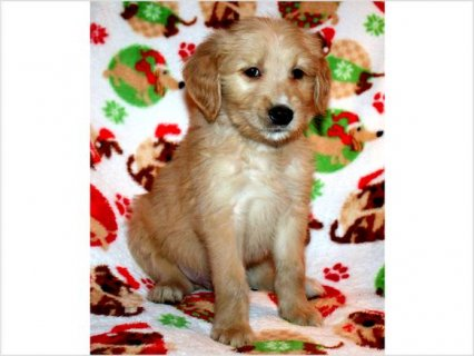 Christmas Goldendoodle PUPPY! Ready