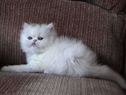 صور Teacup Persian Kittens 2