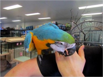 Blue and Gold Macaw Parrot 12 Weeks Old