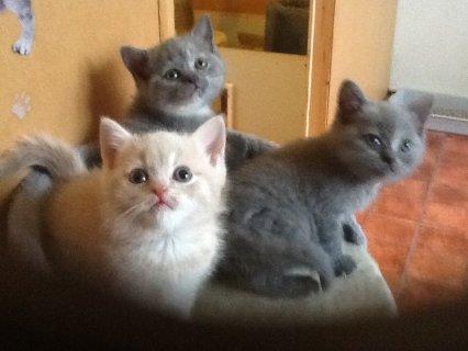 القطط قصيرة الشعر البريطاني