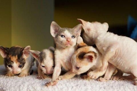 كورنيش ريكس القطط