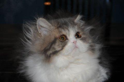 القطط الغريبة النسب جيدة