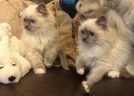 القطط دوول reg. جككف، مكتنزة، تطعيم،