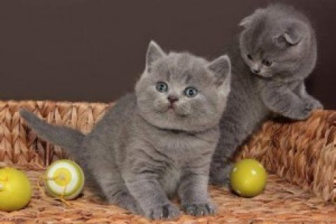 Tortie British Shorthair
