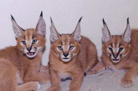 2females and1 male caracal kitten